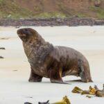 Читать: В Новой Зеландии закрыли дорогу, чтобы не мешать морским львам посещать пляж