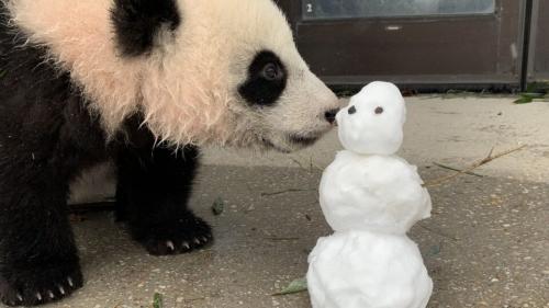 Сеть насмешила реакция панды на снег
