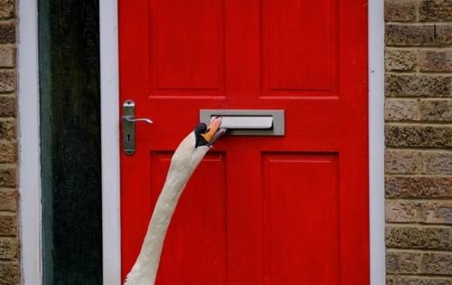 Британцы жалуются на неугомонного лебедя-дебошира