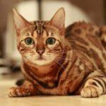 Сеть насмешил кот, забывший как мяукать