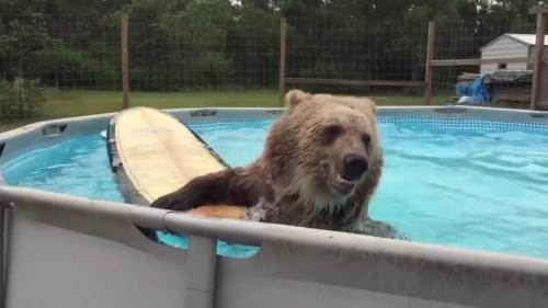 Сеть покорил медведь, решивший освежиться в бассейне