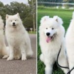 Собаки породы самоед стали звездами соцсетей
