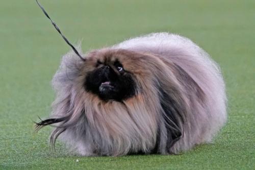 Пушистый пекинес стал победителем старейшей в США собачьей выставки