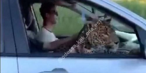 В Одессе в автомобиле проехался леопард