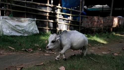 В Бангладеш отыскали корову размером с собаку