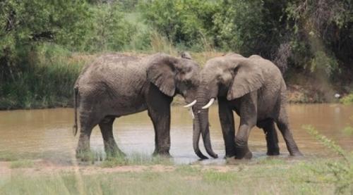 Сеть растрогала заботливая слониха, которая помогла слепой подруге